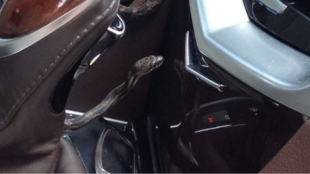 Serpent shocker: Snake slithers out while woman drives