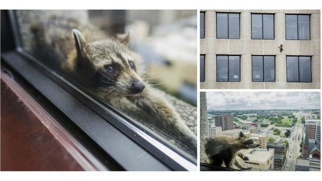 Raccoon scales St. Paul office tower, captivating public