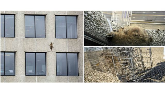 St. Paul raccoon set free after scaling 25-story tower