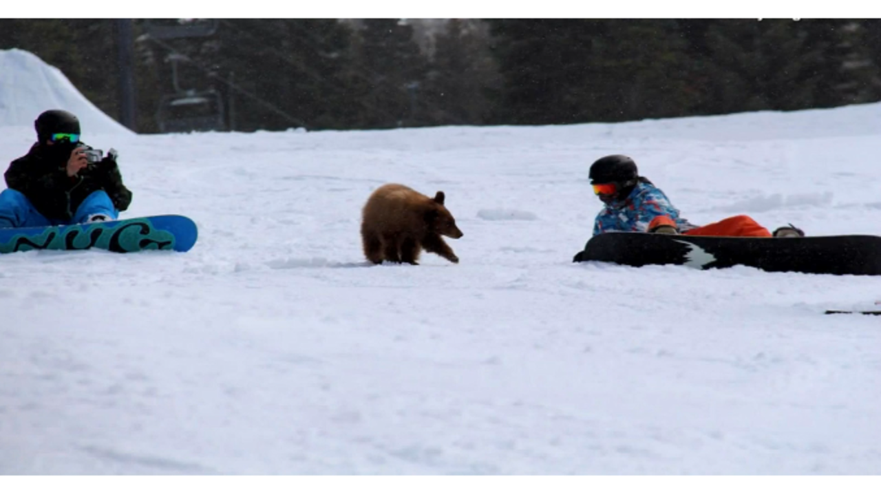 Friendly bear cub could be killed after approaching visitors at ski resort