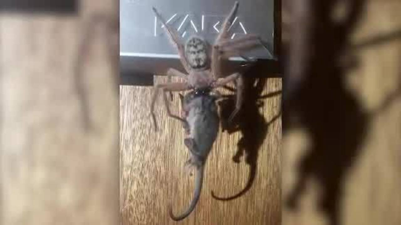 Giant spider devours entire possum in front of horrified hotel guests